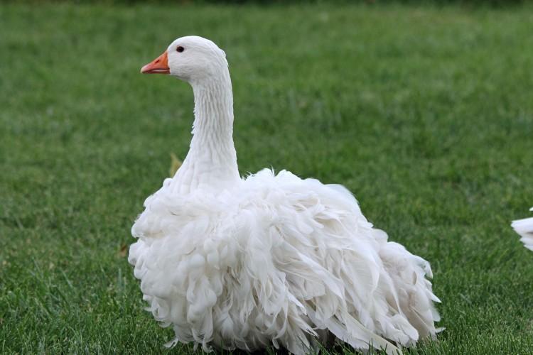sebastopol-geese-82-1_o